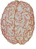 Male Brain 1